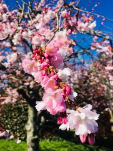 Cherry blossoms in spring 2018