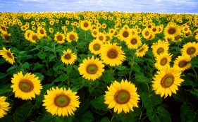 sunflower_sunflower_field_flora all-free-download.com